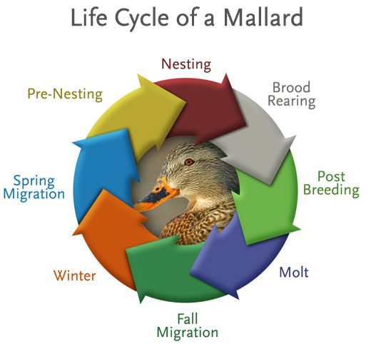 migratory behavior of mallard ducks essay These data offer no justification for the view that domestication has had a  degenerative effect on social courtship behav- ior patterns but rather are  supportive of.