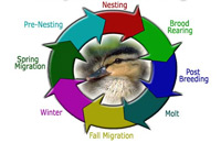 Waterfowl Lifecycle