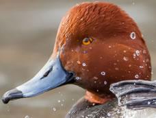 Waterfowl ID
